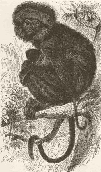 Associate Product PRIMATES. Negro monkey 1893 old antique vintage print picture