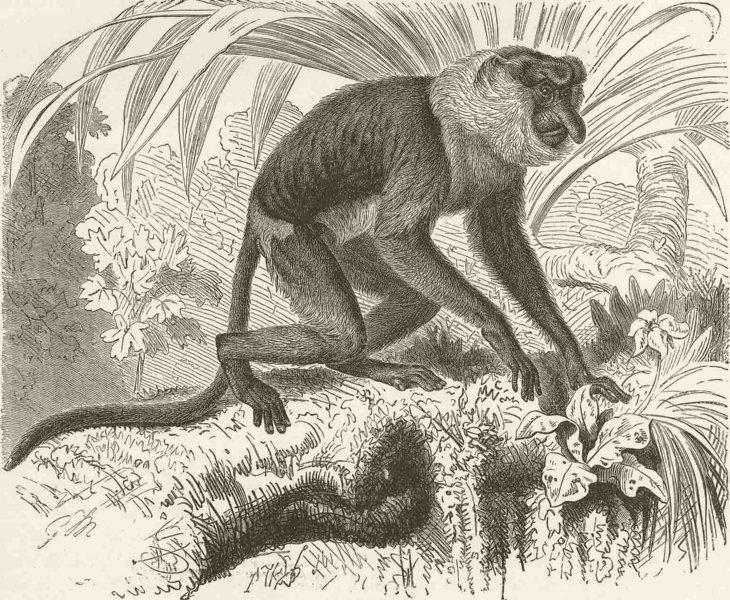 Associate Product PRIMATES. The proboscis monkey 1893 old antique vintage print picture