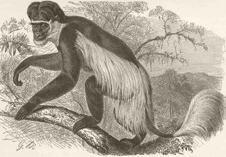 Associate Product PRIMATES. The guereza monkey 1893 old antique vintage print picture