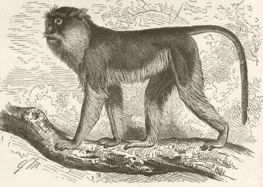Associate Product PRIMATES. The patas monkey 1893 old antique vintage print picture