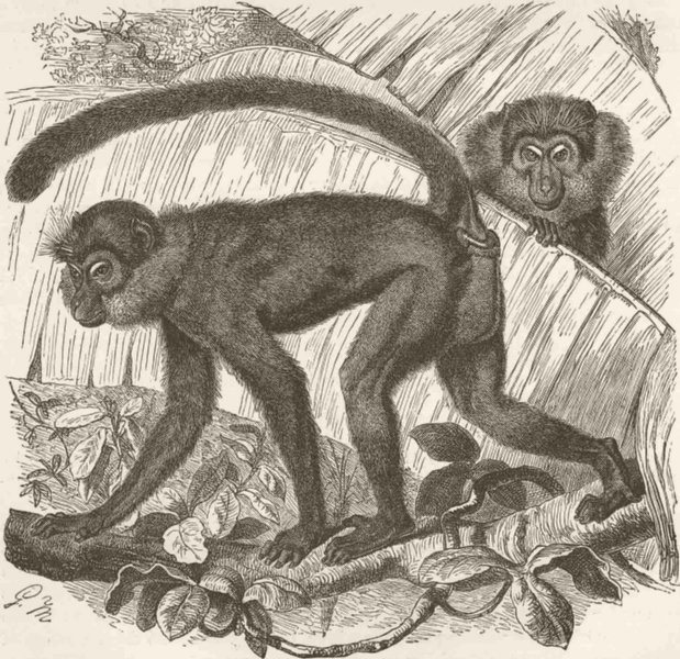 Associate Product PRIMATES. The sooty Mangabey 1893 old antique vintage print picture