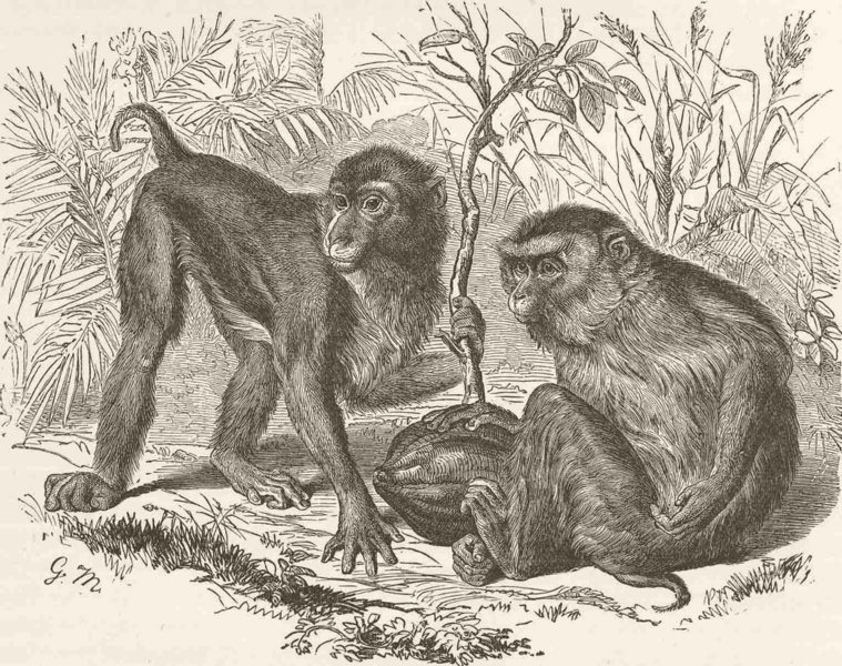 Associate Product PRIMATES. The pig-tailed monkey 1893 old antique vintage print picture