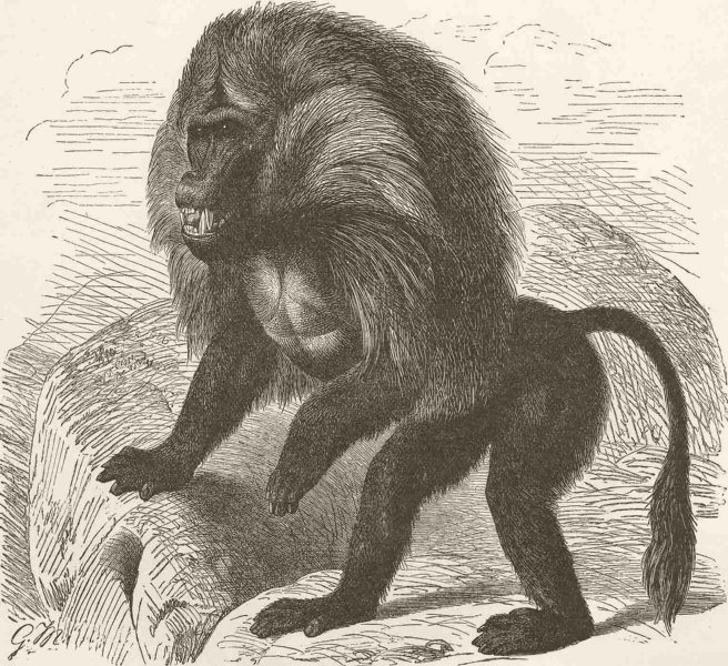 PRIMATES. The Gelada baboon 1893 old antique vintage print picture