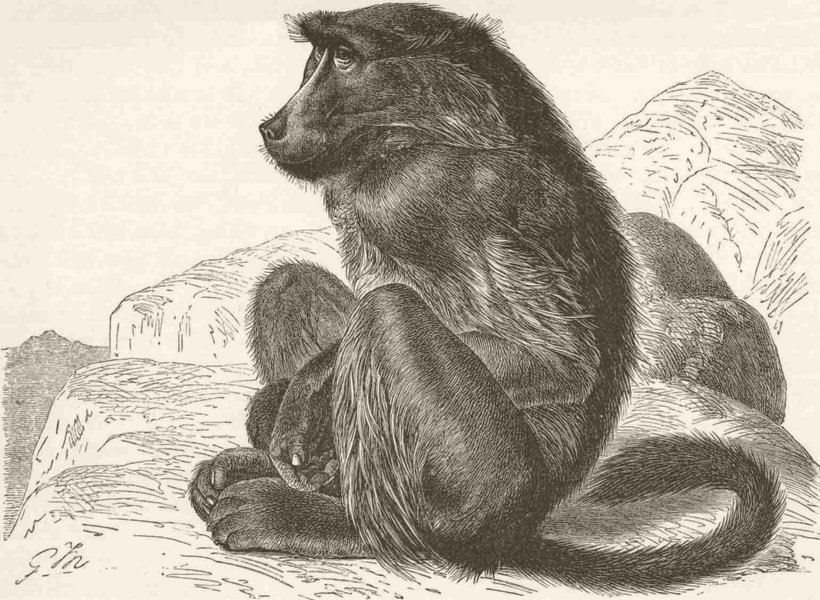 Associate Product PRIMATES. The chacma baboon 1893 old antique vintage print picture