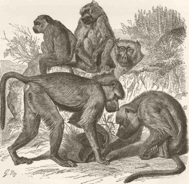 Associate Product PRIMATES. The yellow baboon 1893 old antique vintage print picture