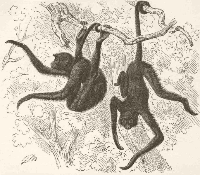 Associate Product PRIMATES. Red-faced spider-monkey 1893 old antique vintage print picture