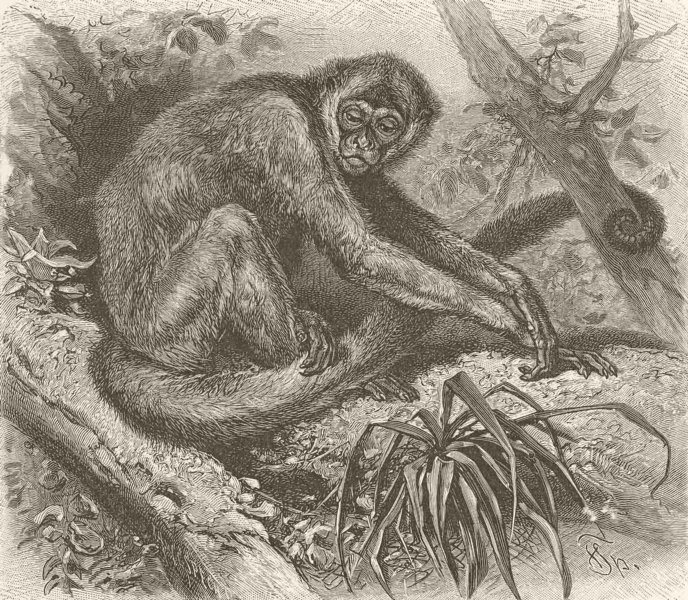 Associate Product PRIMATES. The woolly spider-monkey 1893 old antique vintage print picture