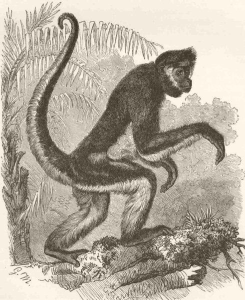 Associate Product PRIMATES. Variegated spider-monkey  1893 old antique vintage print picture
