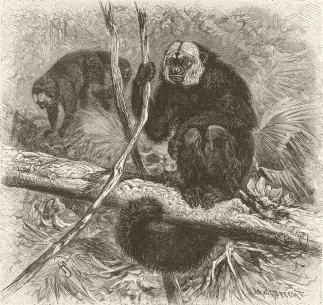 Associate Product PRIMATES. The white-headed saki 1893 old antique vintage print picture