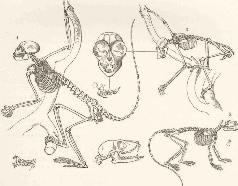 Associate Product PRIMATES. Squirrel-monkey; mongoose lemur; Loris 1893 old antique print