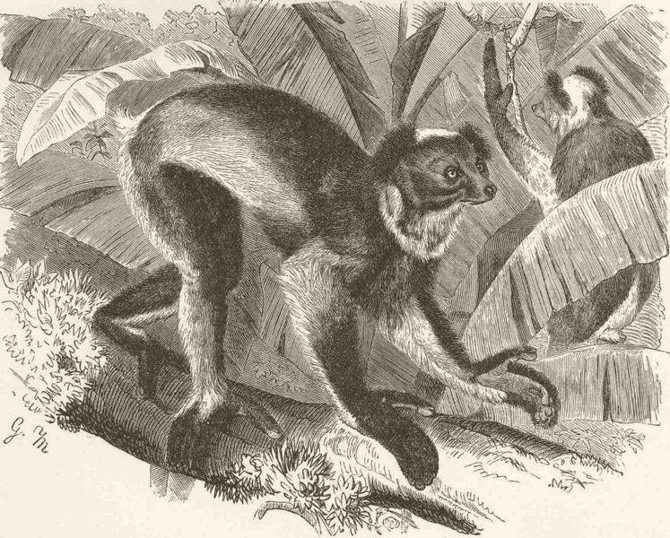 Associate Product PRIMATES. Indri lemur 1893 old antique vintage print picture