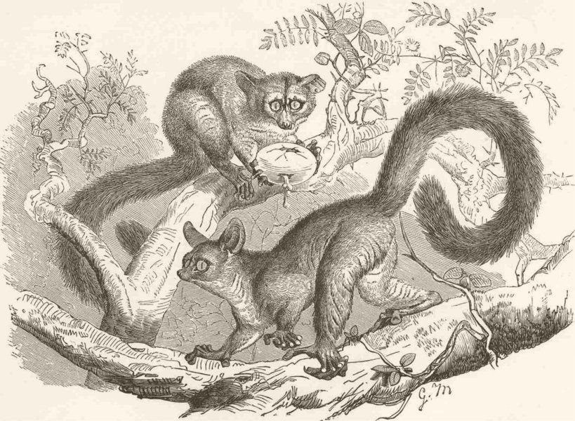 Associate Product PRIMATES. The great galago 1893 old antique vintage print picture