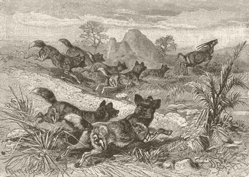 Associate Product DOGS. Hunting-dogs chasing gemsbok 1893 old antique vintage print picture