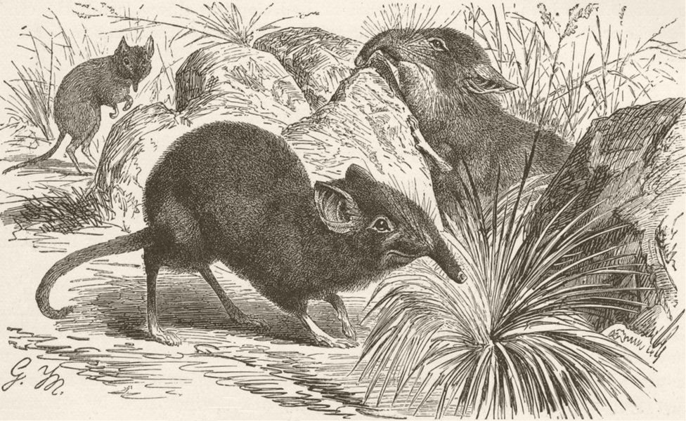 Associate Product INSECTIVORE. Cape jumping-shrew 1893 old antique vintage print picture