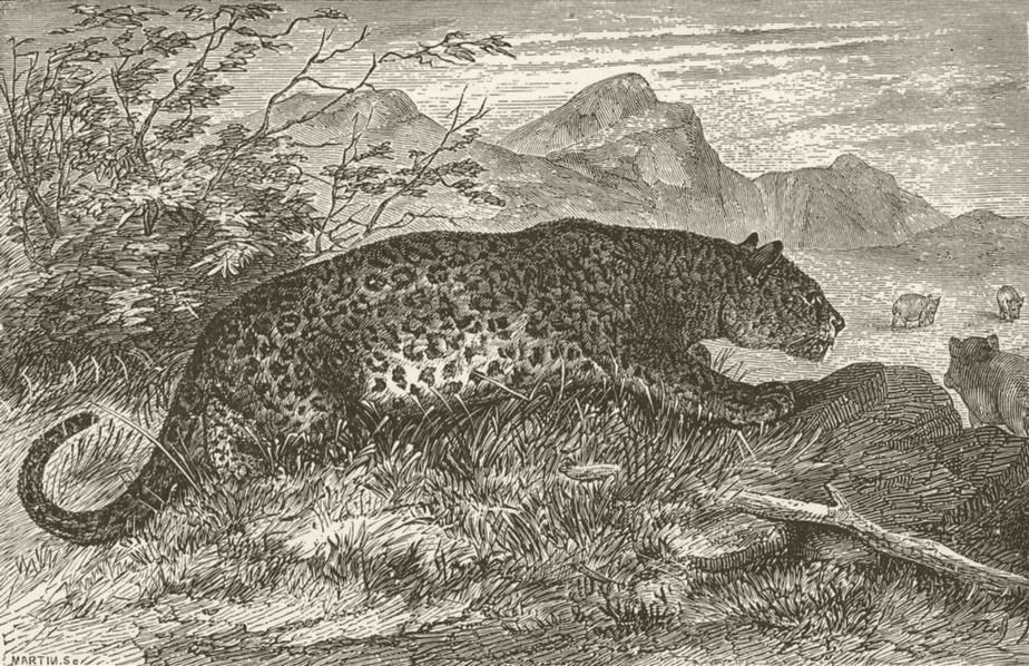 Associate Product LEOPARDS. Leopard on the prowl 1893 old antique vintage print picture