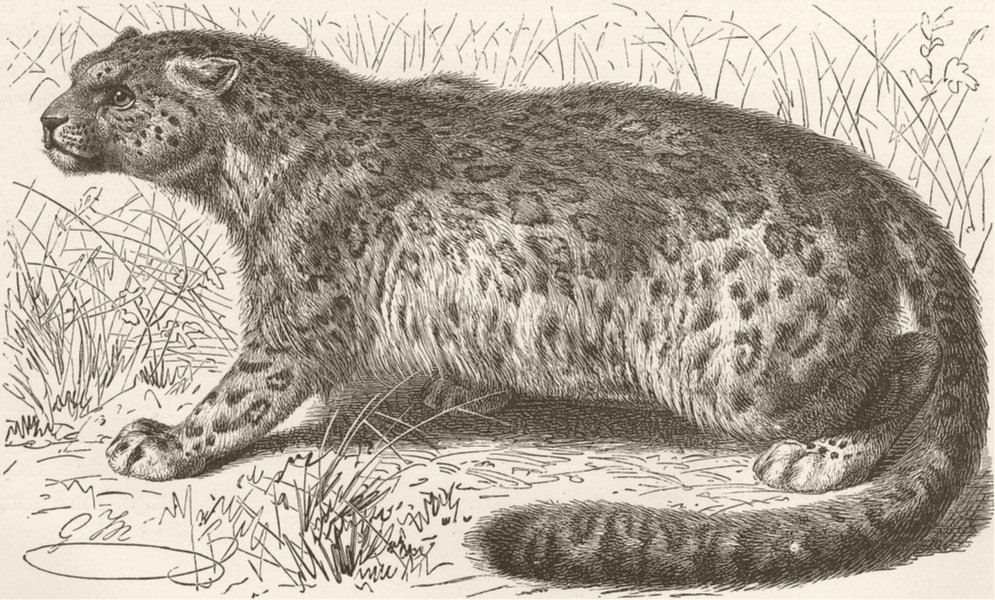 Associate Product LEOPARDS. The snow-leopard 1893 old antique vintage print picture