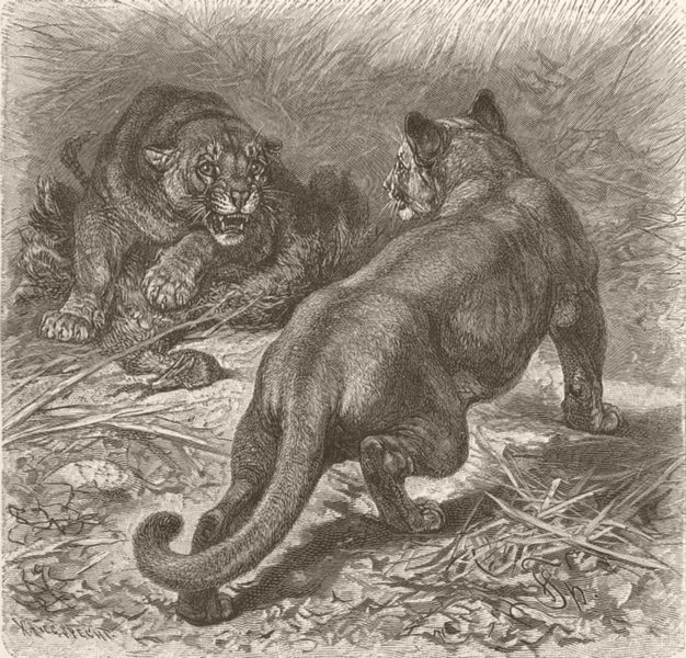 Associate Product CARNIVORES. The puma 1893 old antique vintage print picture