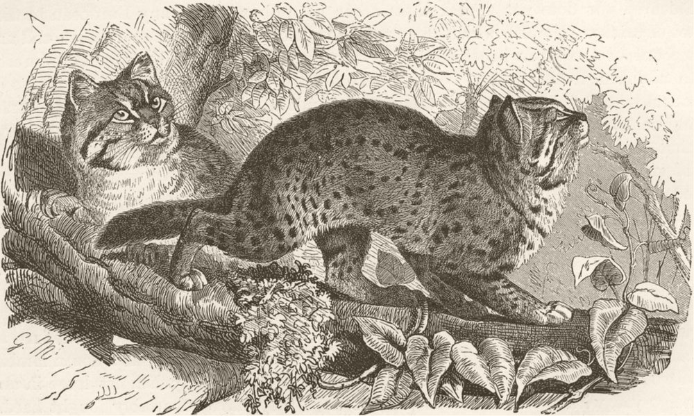 Associate Product LEOPARDS. The leopard-cat 1893 old antique vintage print picture