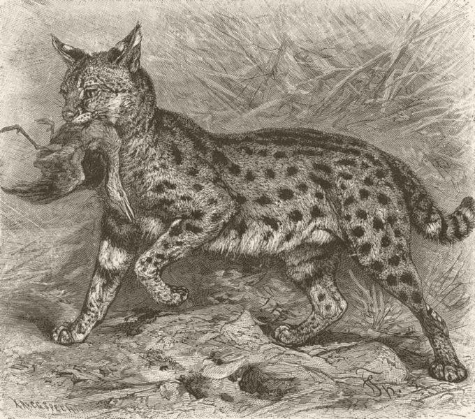 CARNIVORES. The serval 1893 old antique vintage print picture