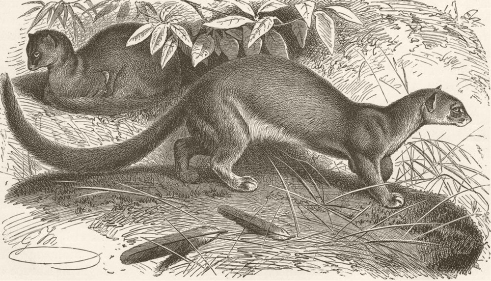 Associate Product CARNIVORES. The Eyra 1893 old antique vintage print picture