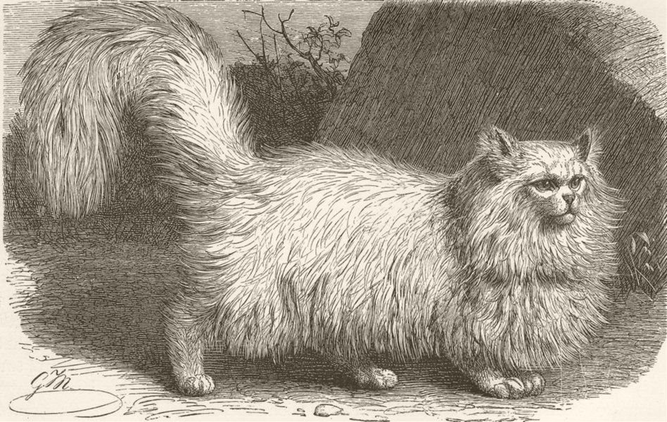 Associate Product CATS. The angora cat 1893 old antique vintage print picture