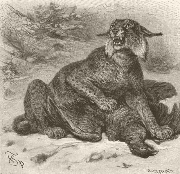 Associate Product CARNIVORES. The European lynx 1893 old antique vintage print picture