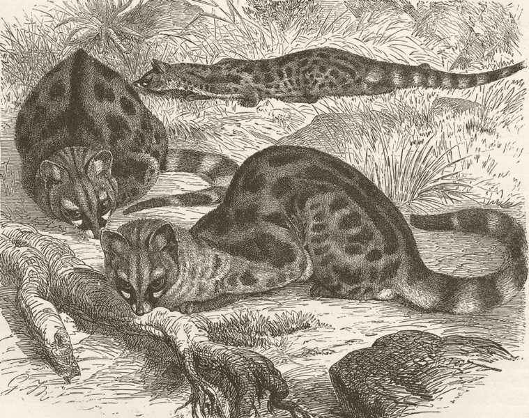 Associate Product CARNIVORES. The genet 1893 old antique vintage print picture
