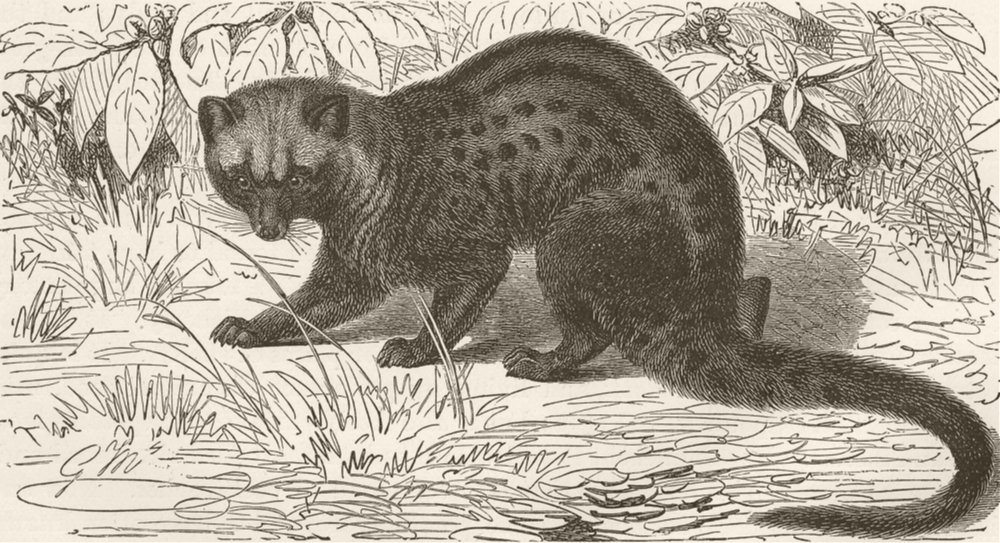 Associate Product CARNIVORES. The Malay palm-civet 1893 old antique vintage print picture