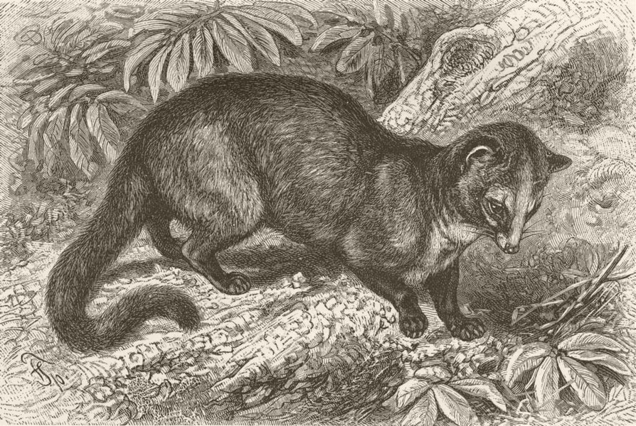 Associate Product CARNIVORES. The Chinese palm-civet 1893 old antique vintage print picture