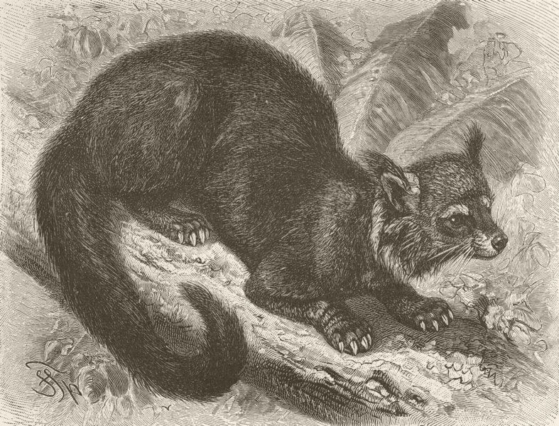 Associate Product CARNIVORES. The binturong 1893 old antique vintage print picture