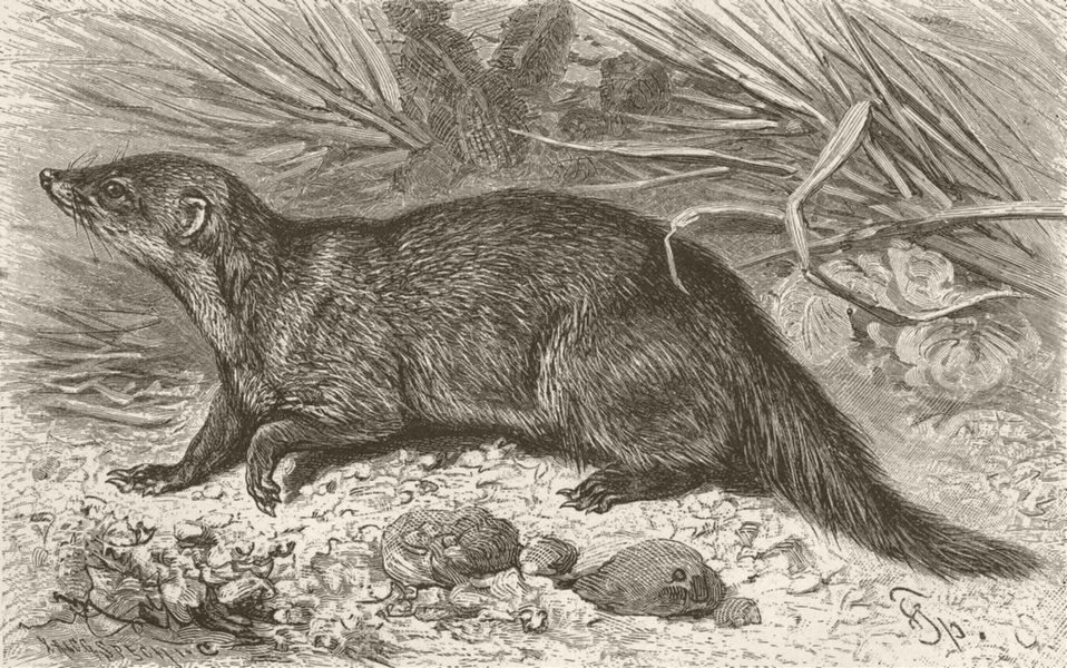 Associate Product CARNIVORES. The cusimanse 1893 old antique vintage print picture