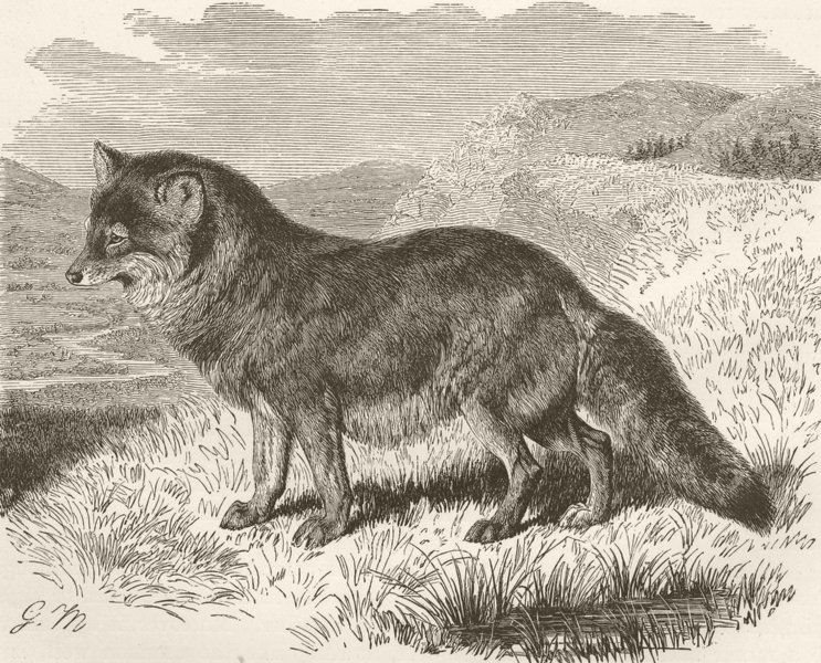Associate Product CARNIVORES. The coyote 1893 old antique vintage print picture