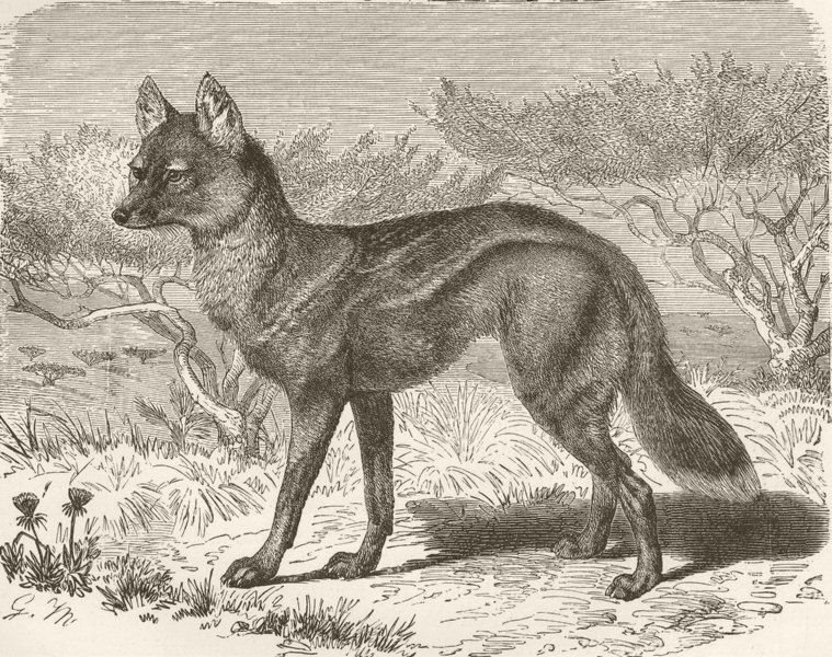 Associate Product CARNIVORES. Variety of side-striped jackal  1893 old antique print picture