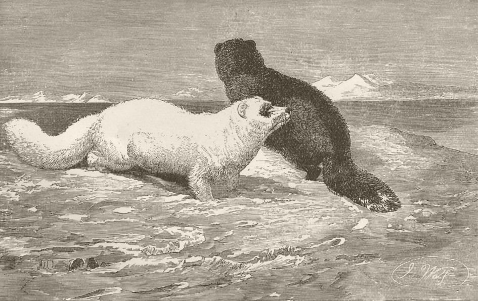 Associate Product ARCTIC. Arctic foxes on the ice 1893 old antique vintage print picture