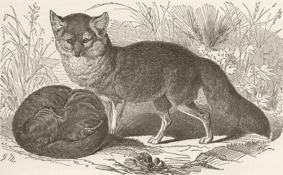 Associate Product FOXES. The grey fox 1893 old antique vintage print picture