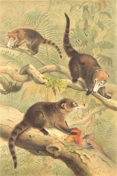 Associate Product MAMMALS. White-nosed coati 1894 old antique vintage print picture