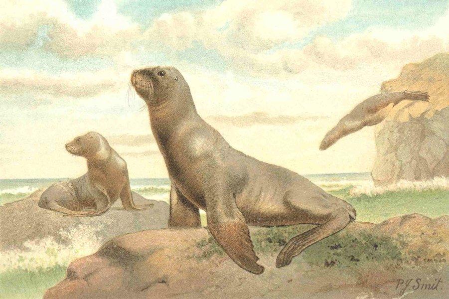 Associate Product CARNIVORES. Hooker's sea-lion 1894 old antique vintage print picture
