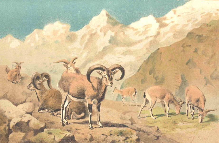 Associate Product SHEEP. Bharal 1894 old antique vintage print picture