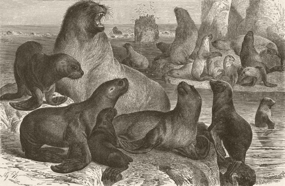 Associate Product FAMILY. Party of South sea-lions 1894 old antique vintage print picture