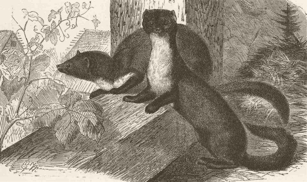 Associate Product CARNIVORES. The beech-marten 1894 old antique vintage print picture
