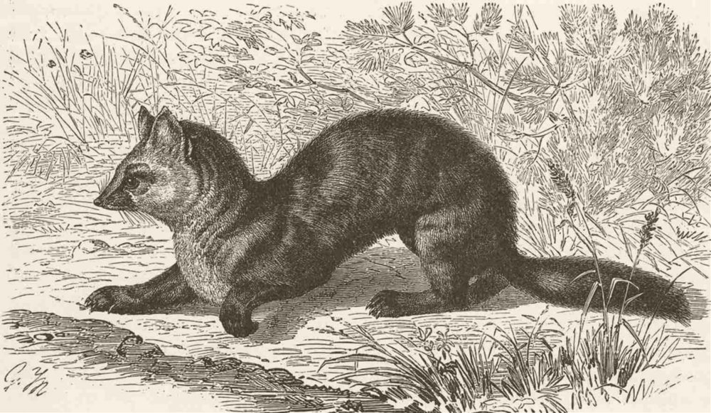 Associate Product CARNIVORES. The sable 1894 old antique vintage print picture