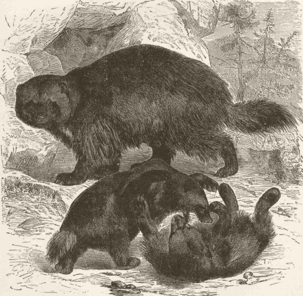 Associate Product CARNIVORES. Glutton, or Wolverene  1894 old antique vintage print picture