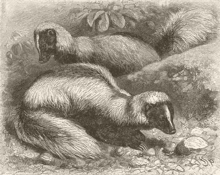 Associate Product CARNIVORES. The white-backed skunk 1894 old antique vintage print picture