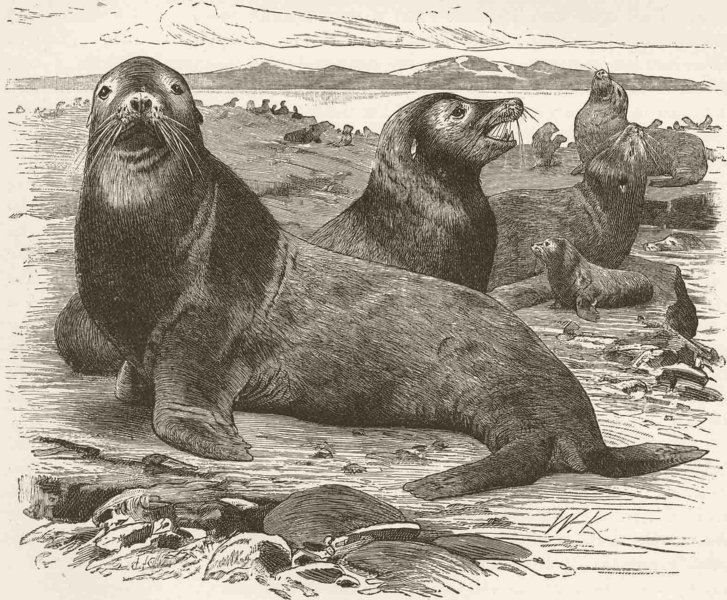 Associate Product CARNIVORES. The Northern sea-lion 1894 old antique vintage print picture