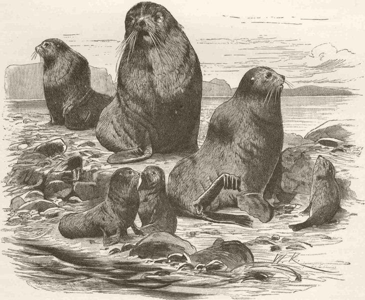 Associate Product CARNIVORES. The Northern sea-bear 1894 old antique vintage print picture