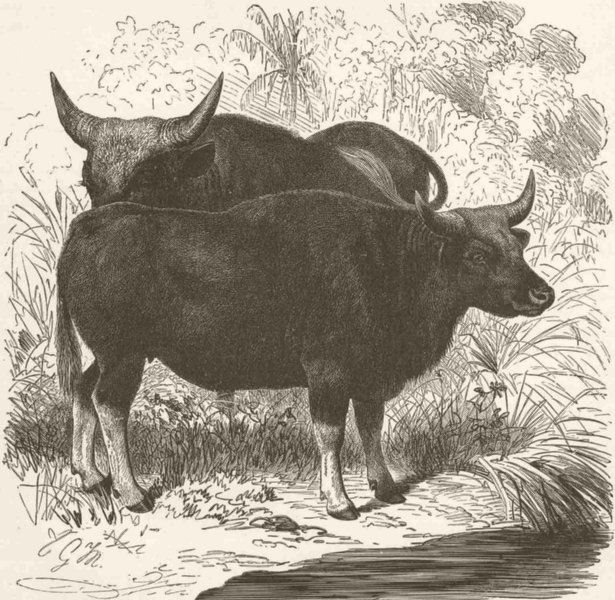 Associate Product COWS. Cow gayals 1894 old antique vintage print picture