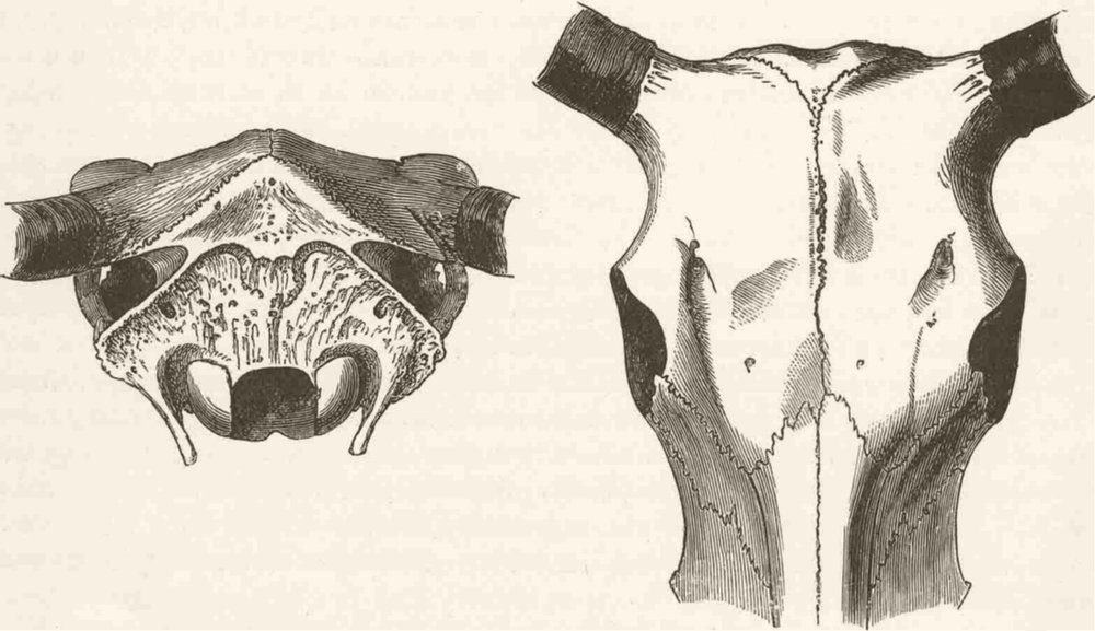 Associate Product ANIMALS. Skull of domestic yak-after Rutimeyer 1894 old antique print picture