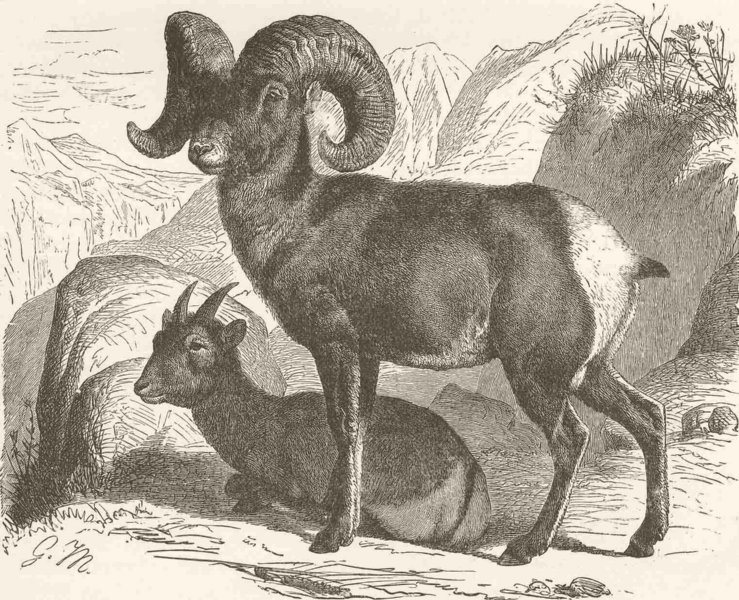 Associate Product SHEEP. American or bighorn  1894 old antique vintage print picture