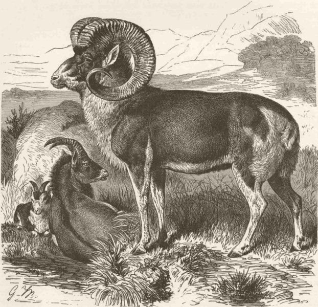 Associate Product SHEEP. The Pamir wild sheep 1894 old antique vintage print picture