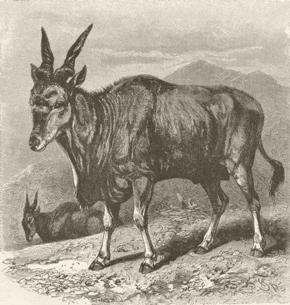 UNGULATES. The eland 1894 old antique vintage print picture